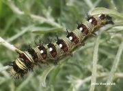 American-Lady-caterpillar-7-6-19