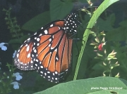 Monarch or Milkweed Butterfly freshly enclosed 2487