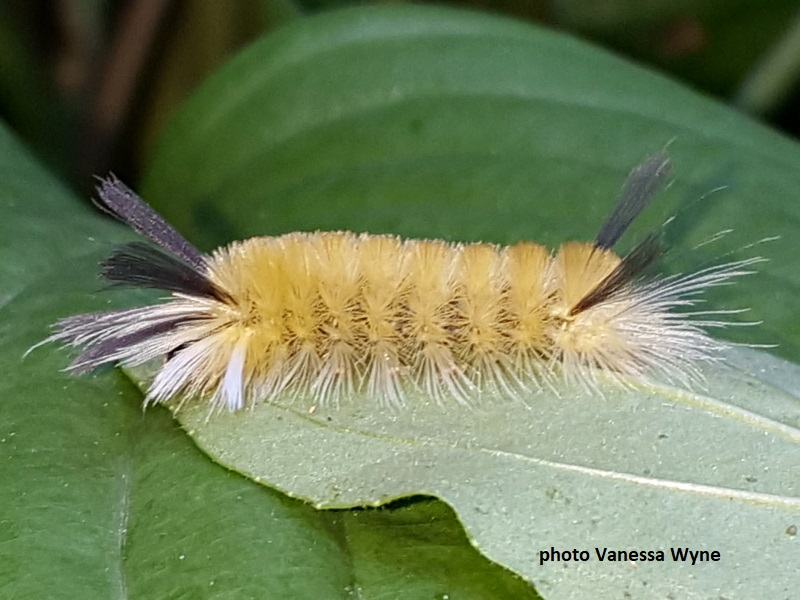 Hairy Caterpillars Of North America Wildlife Insight