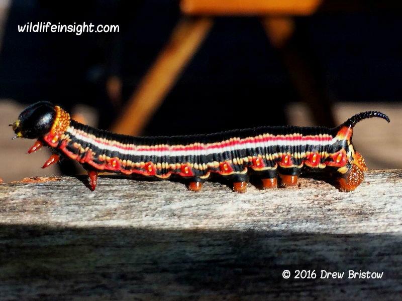 Cephonodes armatus Hawkmoth caterpillar Fiji © 2016 Drew Bristow