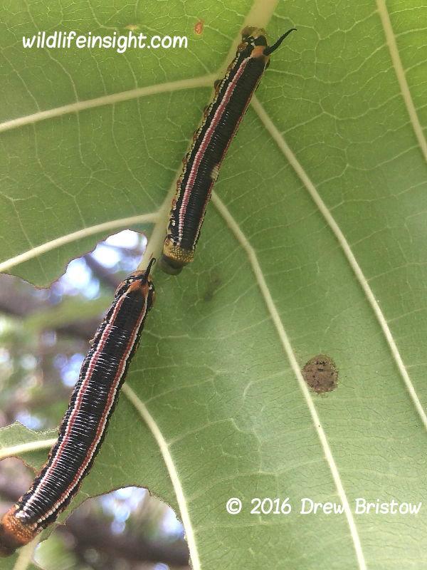 Cephonodes armatus Hawkmoth caterpillars Fiji © 2016 Drew Bristow