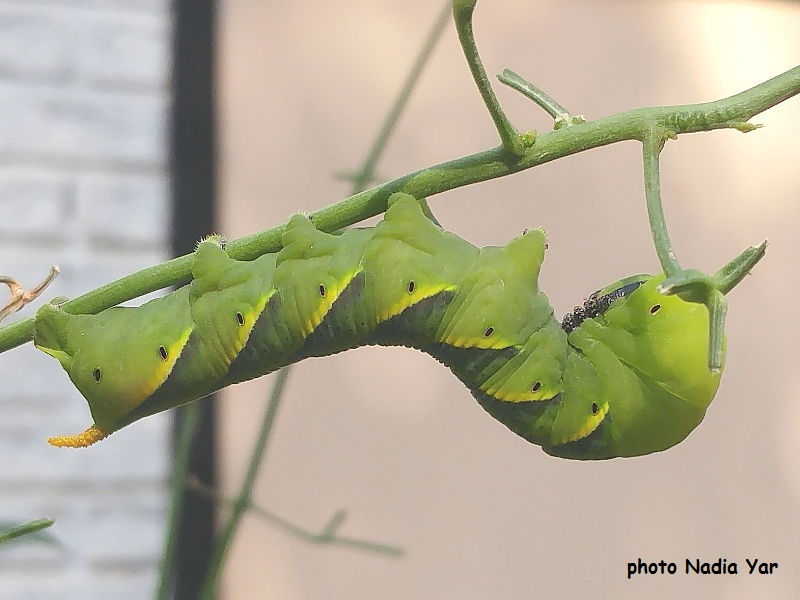 Death's Head Hawkmoth caterpillar recorded in Bahrain by Nadia Yar.