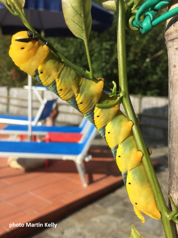 Death's Head Hawkmoth caterpillar recorded by Martin Kelly in Lunigiana, Italy