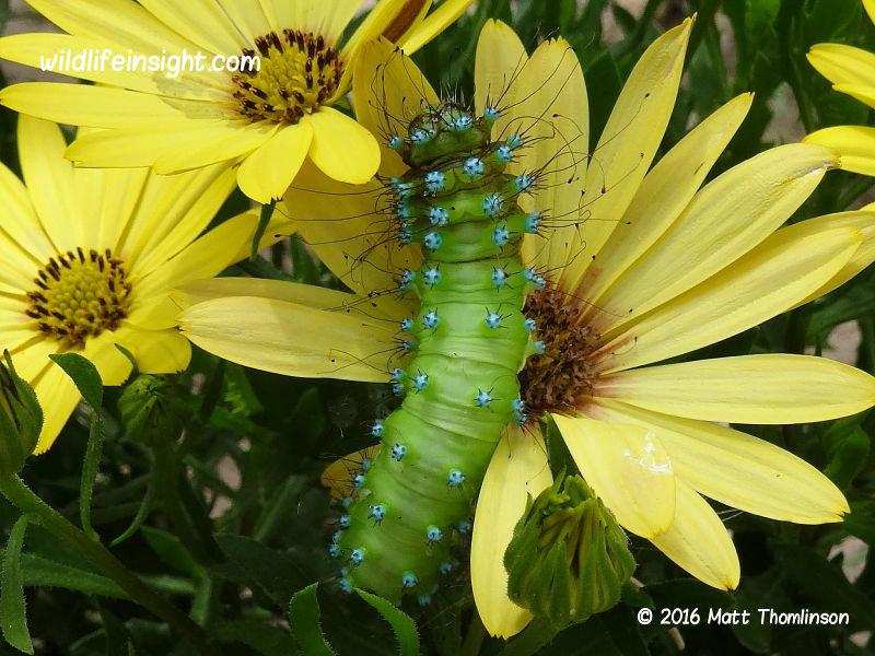 Great Peacock moth caterpillar Saturnia pyri Bulgaria photo Matt Thomlinson