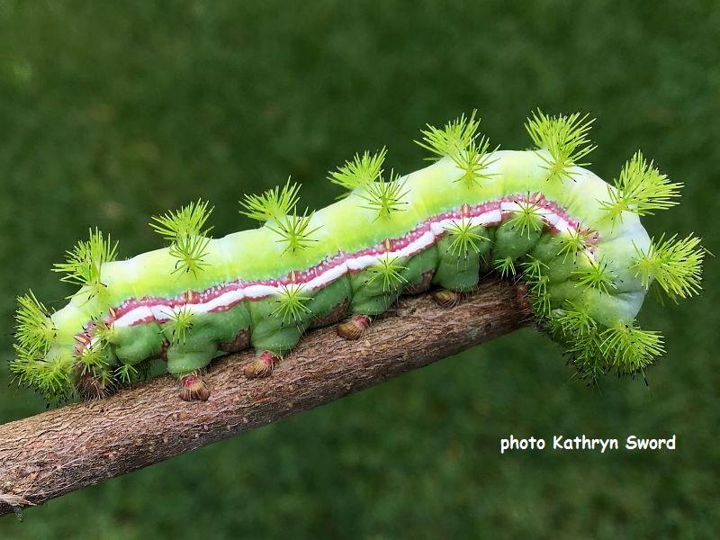 Io moth caterpillar (Automeris io) recorded in Spring, Texas USA photo Kathryn Sword