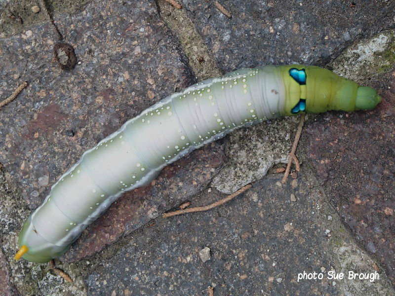 Oleander Hawkmoth caterpillar (Daphnis nerii) Lecce Italy photo Sue Brough