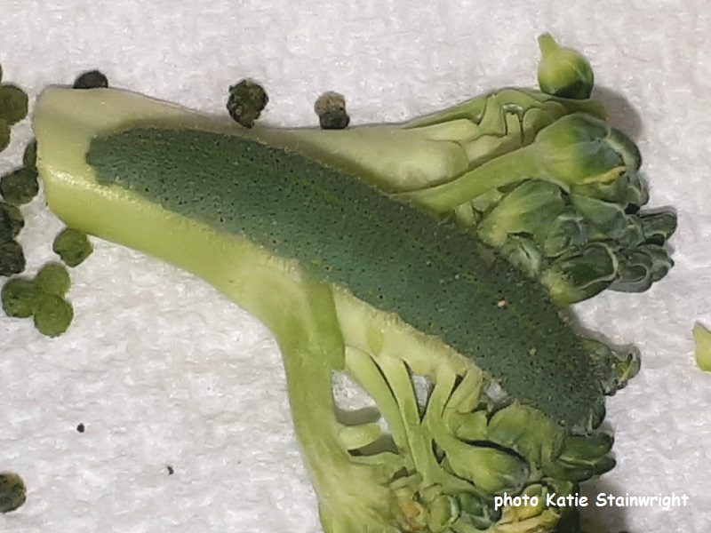 Caterpillar on broccoli from Spain -  Small White Butterfly caterpillar recorder Kate Stainwright