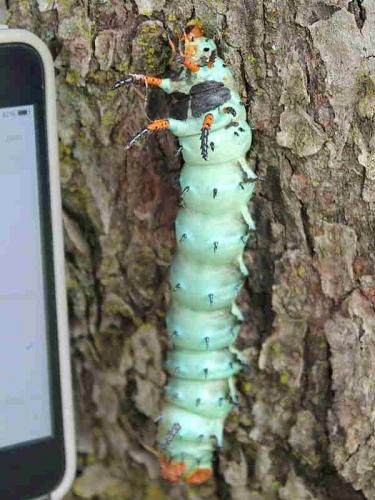 Regal moth caterpillar (Citheronia regalis) recorder J.Pace