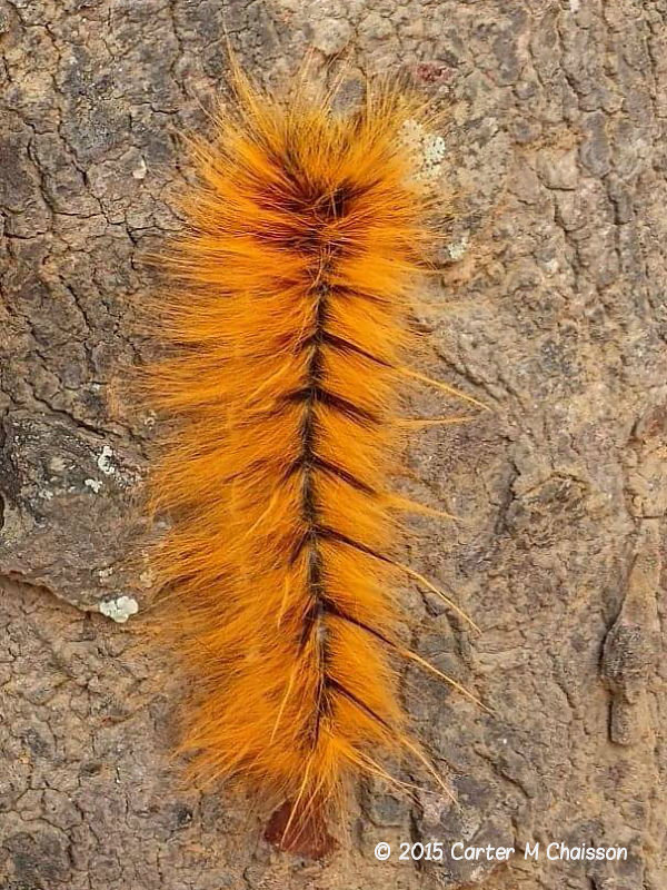 Monkey moth caterpillar species recorded in Malawi, Africa photo © 2015 Carter M.Chaisson
