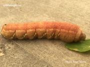 Achemon sphinx caterpillar prepupating Saskatchewan Canada photo Avory Watts