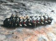 African Emperor moth caterpillar Bunaea alcinoe photo Matthew Sussens