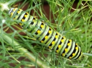 Black Swallowtail caterpillar (Papilio polyxenes) on dill Virginia US photo Lois A