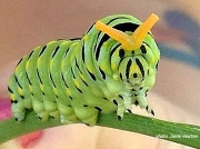 Black Swallowtail caterpillar head Kansas US photo Jamie Newton