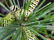 Black Swallowtail caterpillars Papilio polyxenes on dill Virginia US photo Lois A