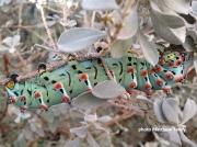 Calleta Silkmoth caterpillar ( Eupackardia calleta) Texas US photo Matthew Talley