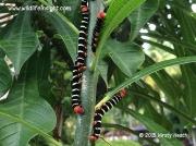 Costa Rica Sphinx moth caterpillars Tetrio sphinx St Lucia © 2015 Kirsty Heath
