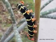 Costa Rica Sphinx Pseudosphinx tetrio caterpillar on frangipani Texas photo Becky Gutierrez Gomez