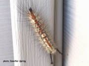 Douglas Fir Tussock Moth caterpillar (Orgyia pseudotsugata) Canada sighting Jennifer Spring