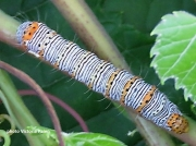 Eight Spotted Forester caterpillar  (Alypia octomaculata)  on vine in US  photo Victoria Palen