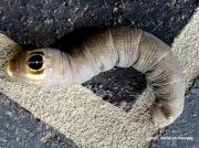 Ello Sphinx caterpillar Erinnyis ello California US photo Katheryn Kennedy
