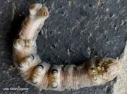 Ello Sphinx caterpillar black banded legs photo California US photo Katheryn Kennedy
