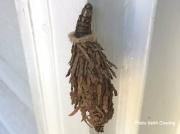Evergreen Bagworm moth Thyridopteryx ephemeraeformis unconfirmed Maryland US photo Keith Gooding