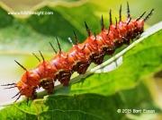 Gulf Fritillary caterpillar Texas © Bart Eason 2015