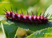 Gulf Fritillary caterpillar Texas © 2015 Bart Eason