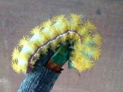 Io moth caterpillar yellow instar (Automeris io) recorded in Pennsylvania USA photo © 2015 Tracy Didyk