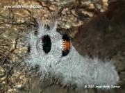 Lappet-moth-caterpillar-species -Gauteng-South Africa © 2015 Anne-marie Gerber