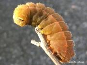 Luna Moth caterpillar prepupating W Virginia US photo Ed Johnson