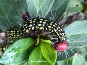 Major Datana or  Azalea caterpillar (Datanor major) on azalea,  S Carolina photo Al Markham