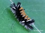 Milkweed Tussock caterpillar Vermont US photo Micheal Nahmias