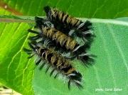 Milkweed Tussock caterpillars (Euchaetes egle) Ohio US photo Carol Zeller