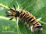 Milkweed Tussock caterpillar (Euchaetes egle) New Hampshire US photo Nancy Ferguson
