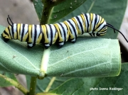 Monarch or Milkweed Butterfly caterpillar (Danaus plexippus)
