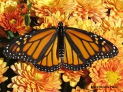 Monarch or Milkweed Butterfly,  Danaus plexippus