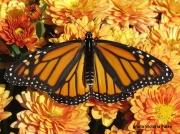 Monarch or Milkweed Butterfly,  Danaus plexippus