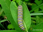Monarch or Milkweed Butterfly caterpillar,  Danaus plexippus
