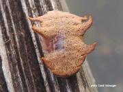 Monkey slug Hag Moth caterpillar Phobetron pithecium Florida US photo Candi Holzsager