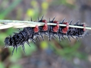 Mourning Cloak butterfly caterpillar (Nymphalis antiopa) Canada