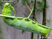 1985 Oleander Hawkmoth caterpillar (Daphnis nerii) Singapore © Yu Tian