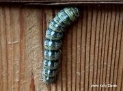 Pandora Pine Moth caterpillar (Coloradia pandora) Oregon, US photo Kelly Zlatek