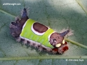 Saddleback caterpillar Acharia stimulea Pennsylvania US photo Katie Boyle