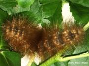 Salt Marsh caterpillar (Estigmene acrea) Georgia US photo Alecx Aliabo