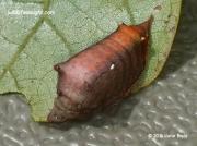 Smaller Parasa caterpillar Parasa chloris Pennsylvania US photo Katie Boyle (3)