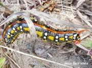 Spurge Hawkmoth caterpillar Hyles euphorbiae Michigan US photo Beth White