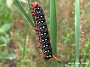 Spurge Hawkmoth caterpillar Hyles euphorbiae Michigan US photo Janis Wesley