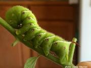 Tobacco Hornworm (Manduca sexta) Kansas US photo Jamie Newton
