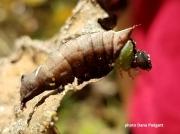Unicorn caterpillar ( Schizura unicornis) US  photo Dana Padgett
